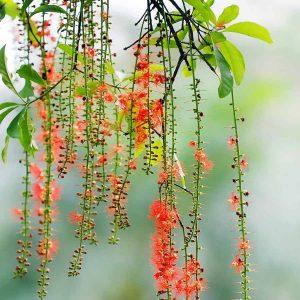 trồng cây lộc vừng có ý nghĩa gì