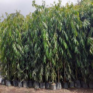 kỹ thuật trồng cây hoàng nam