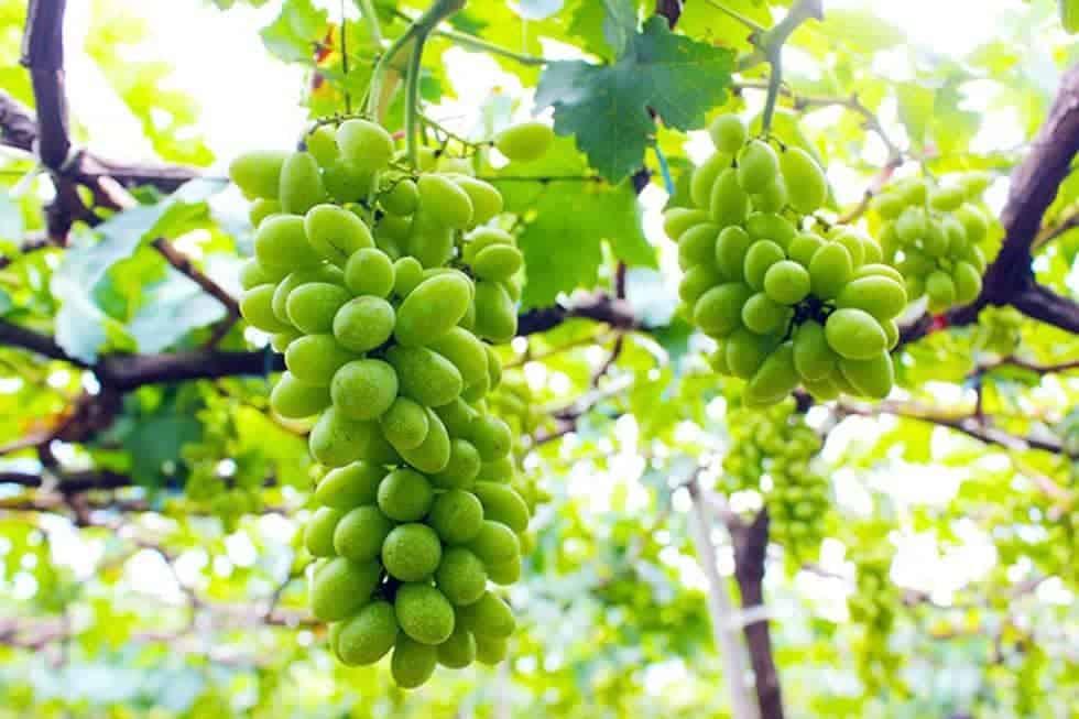 Nho Ninh Thuận là loại cây ăn quả cho bóng mát, ít rụng lá