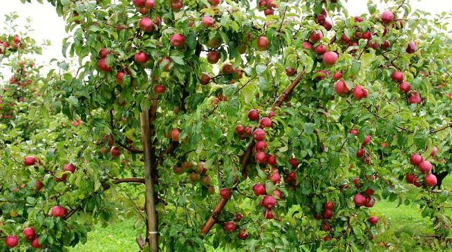 Cây ăn quả cho bóng mát ít rụng lá