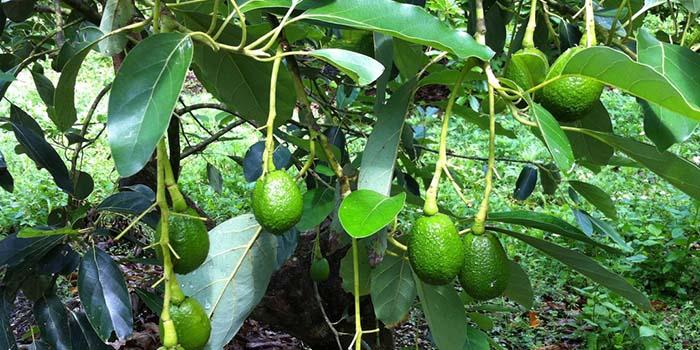 cây ăn quả có bóng mát