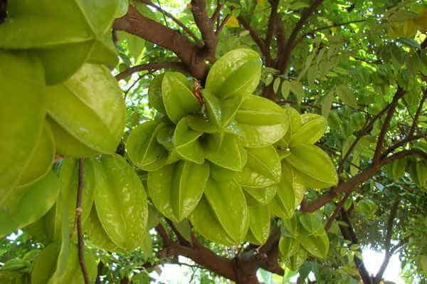 trồng cây ăn quả lấy bóng mát