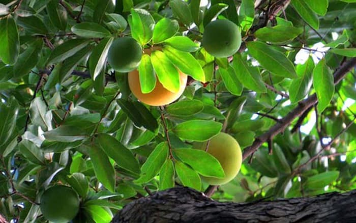 cây ăn trái cho bóng mát