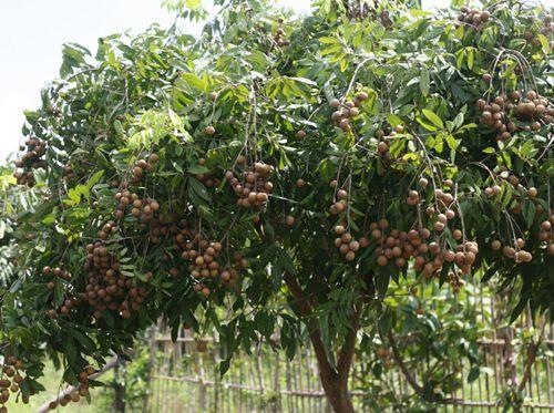 Cây ăn quả cho bóng mát