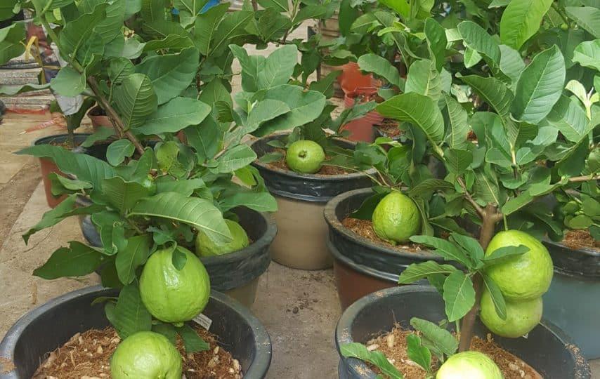 các loại cây ăn quả dễ trồng trong chậu