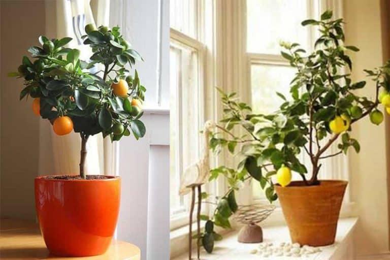 các loại cây ăn quả trồng trong chậu