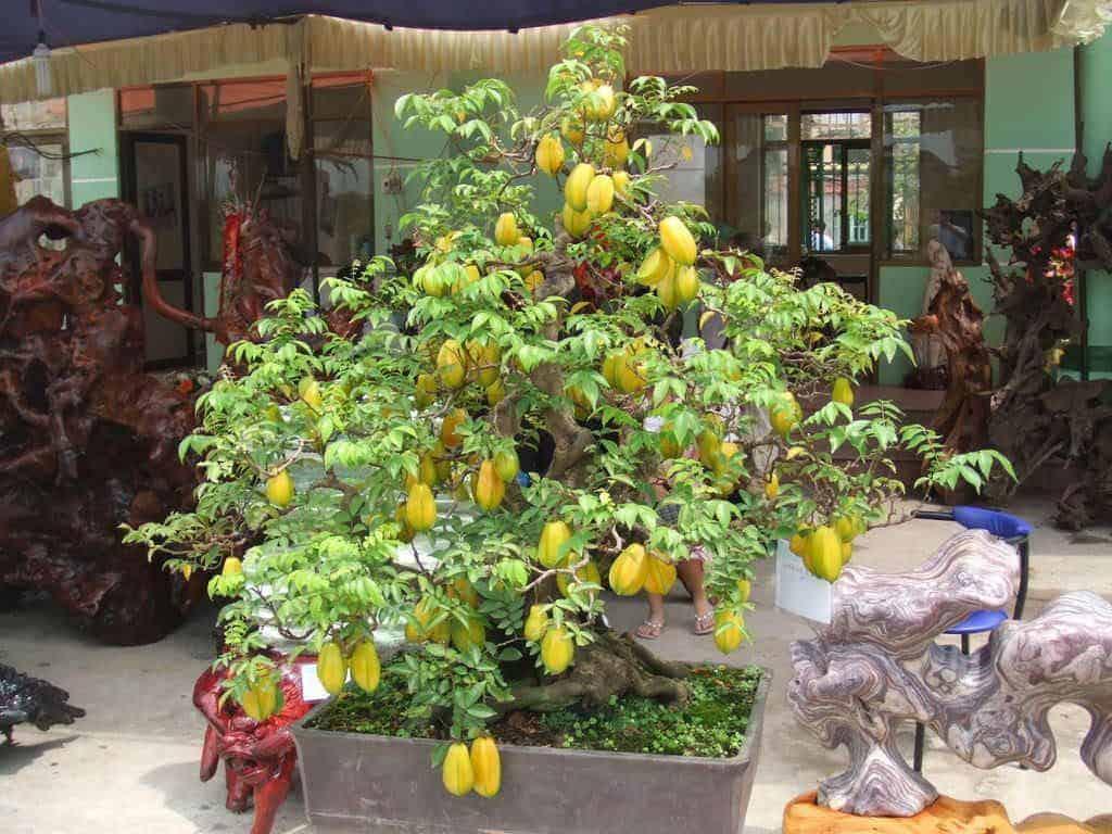những loại cây ăn quả trồng trong chậu
