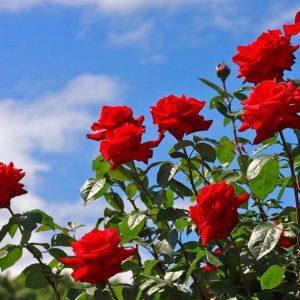 làm cách nào để hoa hồng nở to