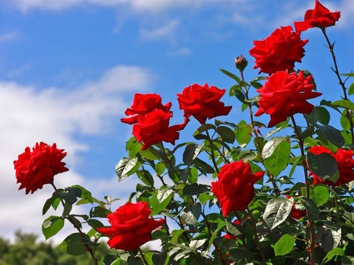 cách làm cho hoa hồng nở rộ