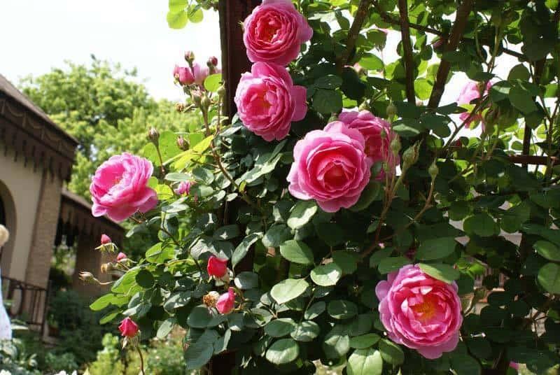 hoa hồng nở to nhất