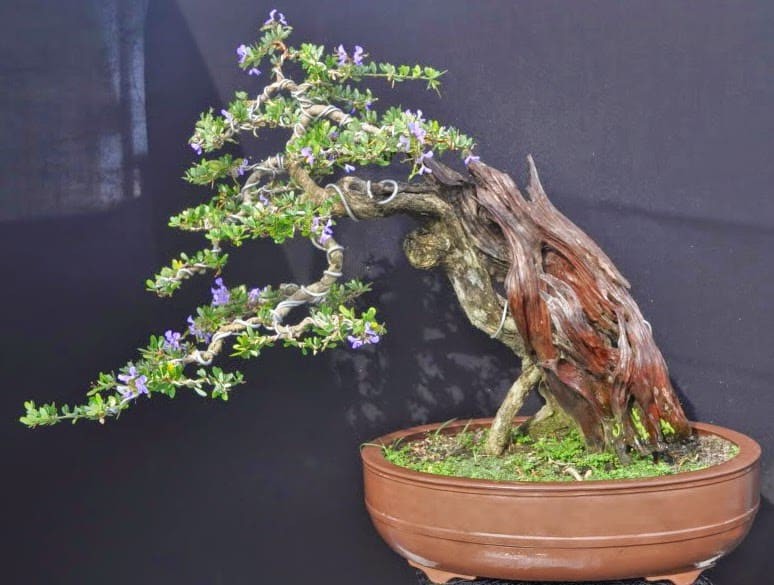 cách uốn cây bonsai