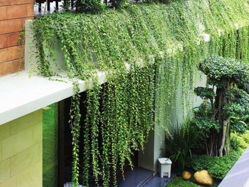 cách trồng cây xanh trên tường