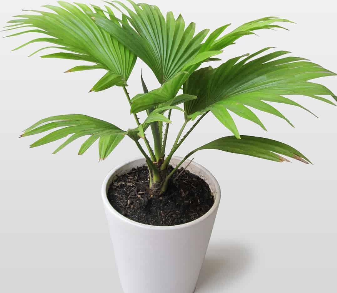 có nên trồng dừa cảnh trong phòng