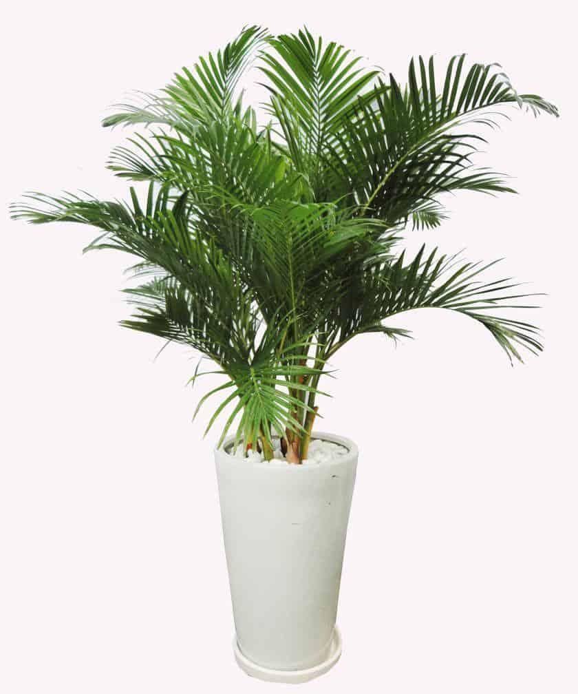 chăm sóc cây dừa cảnh trong nhà