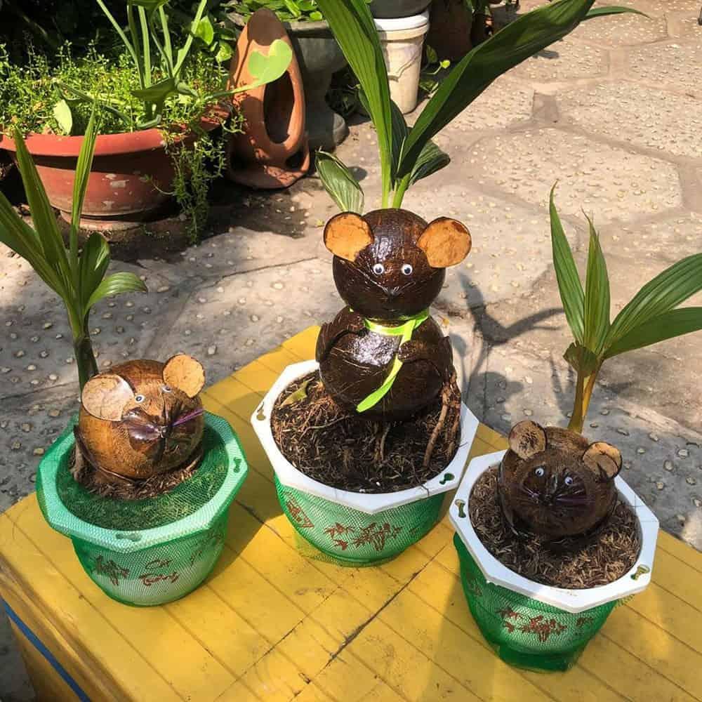 trồng dừa cảnh trong nhà