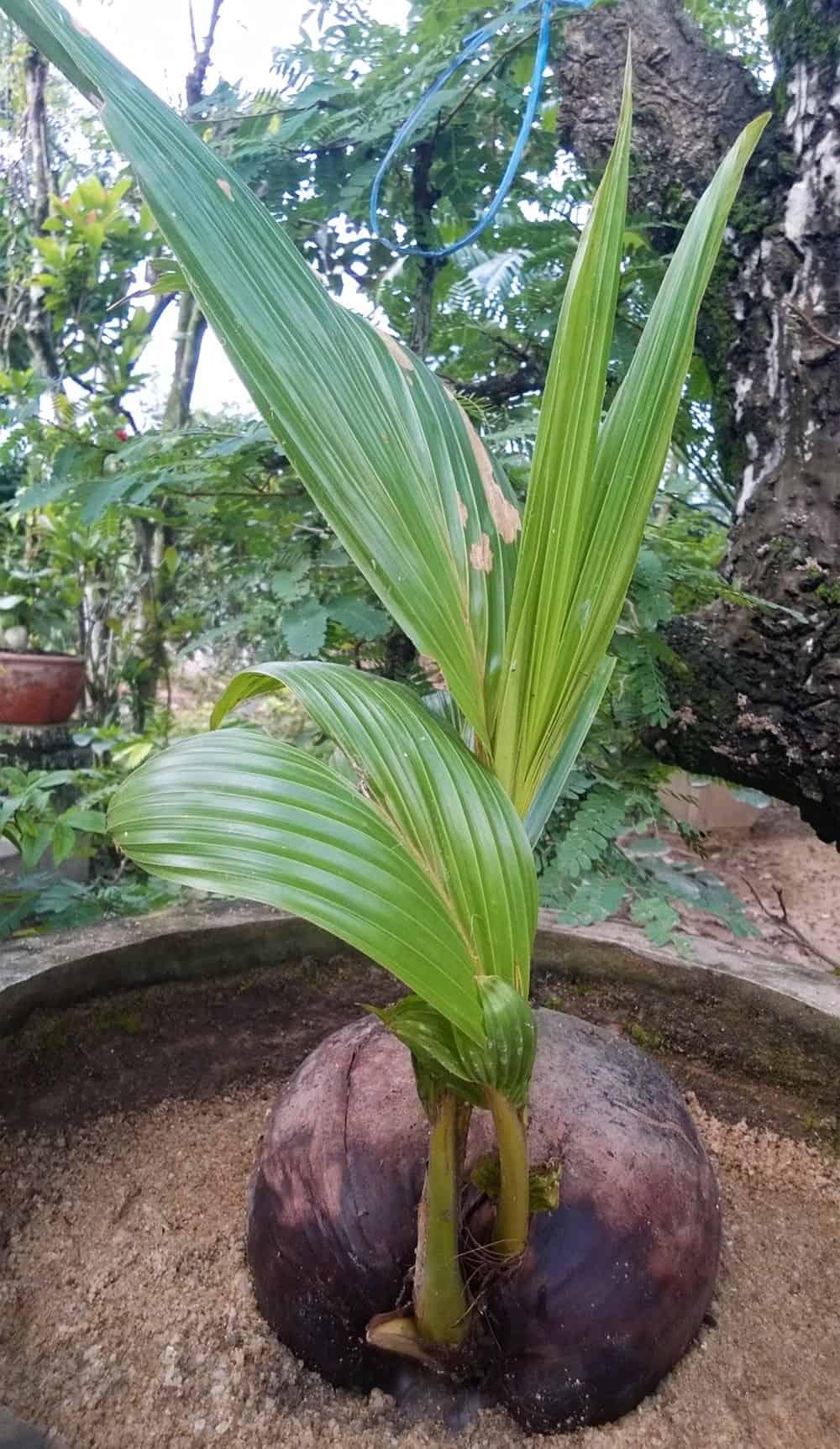 cây dừa cảnh đặt trong nhà