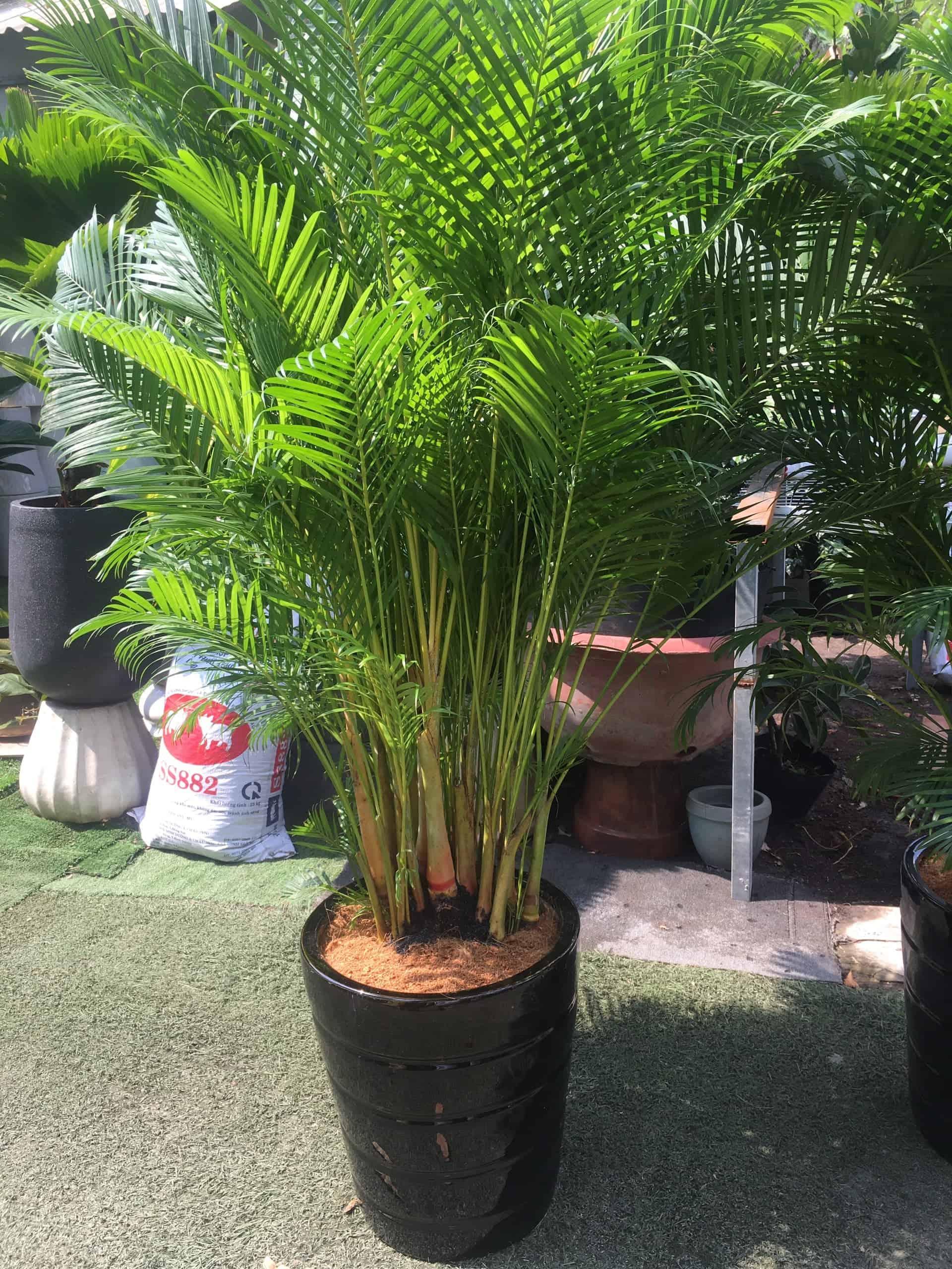 cây dừa cảnh trồng trong nhà