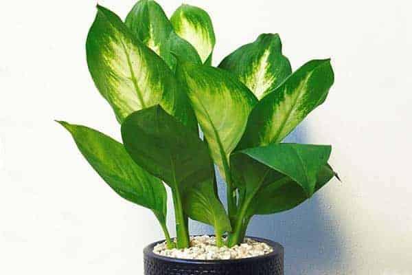 tuổi mậu thân nên trồng cây gì trong nhà