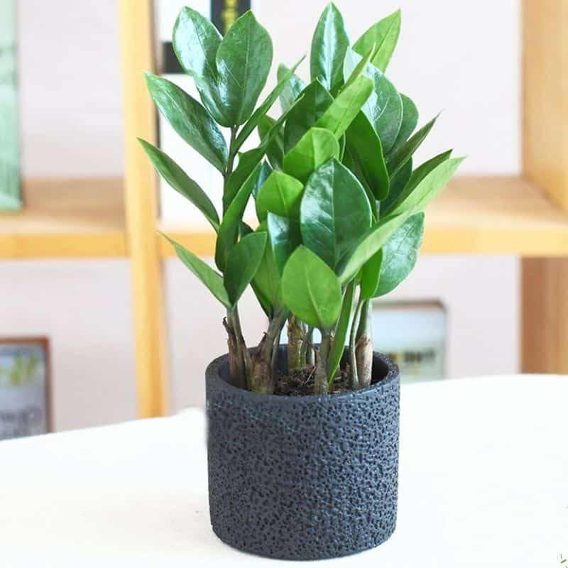 mua bán cây xanh để văn phòng