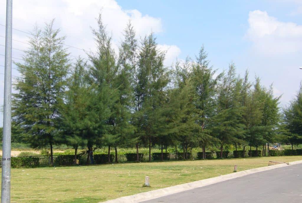 mua bán cây xanh công trình
