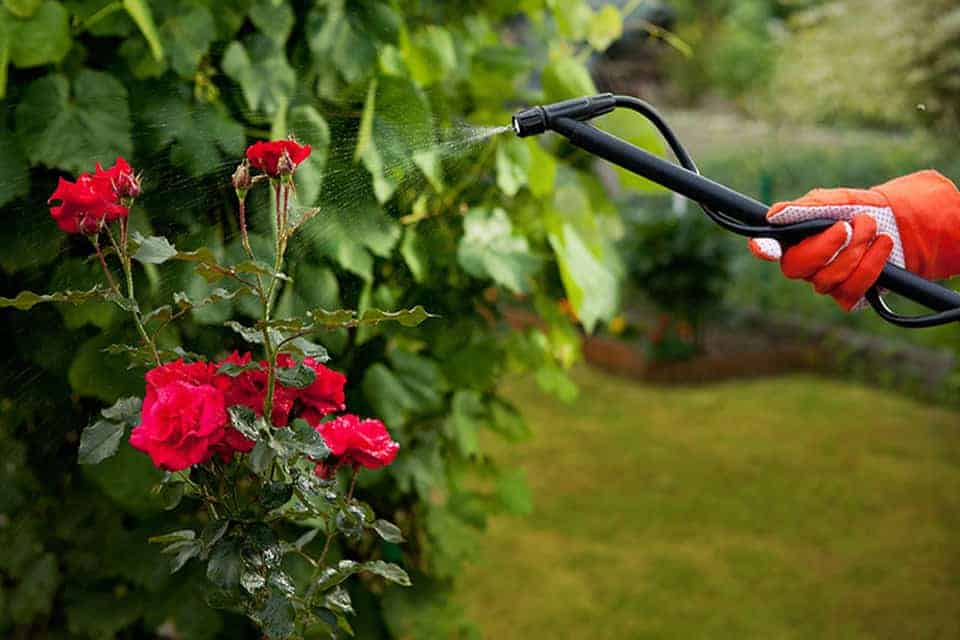 cách làm hoa hồng nở hoa to