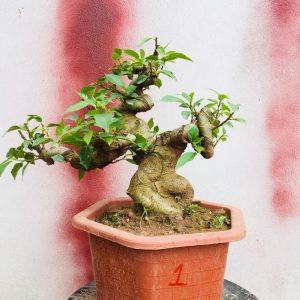 cách tạo dáng cây sung cảnh