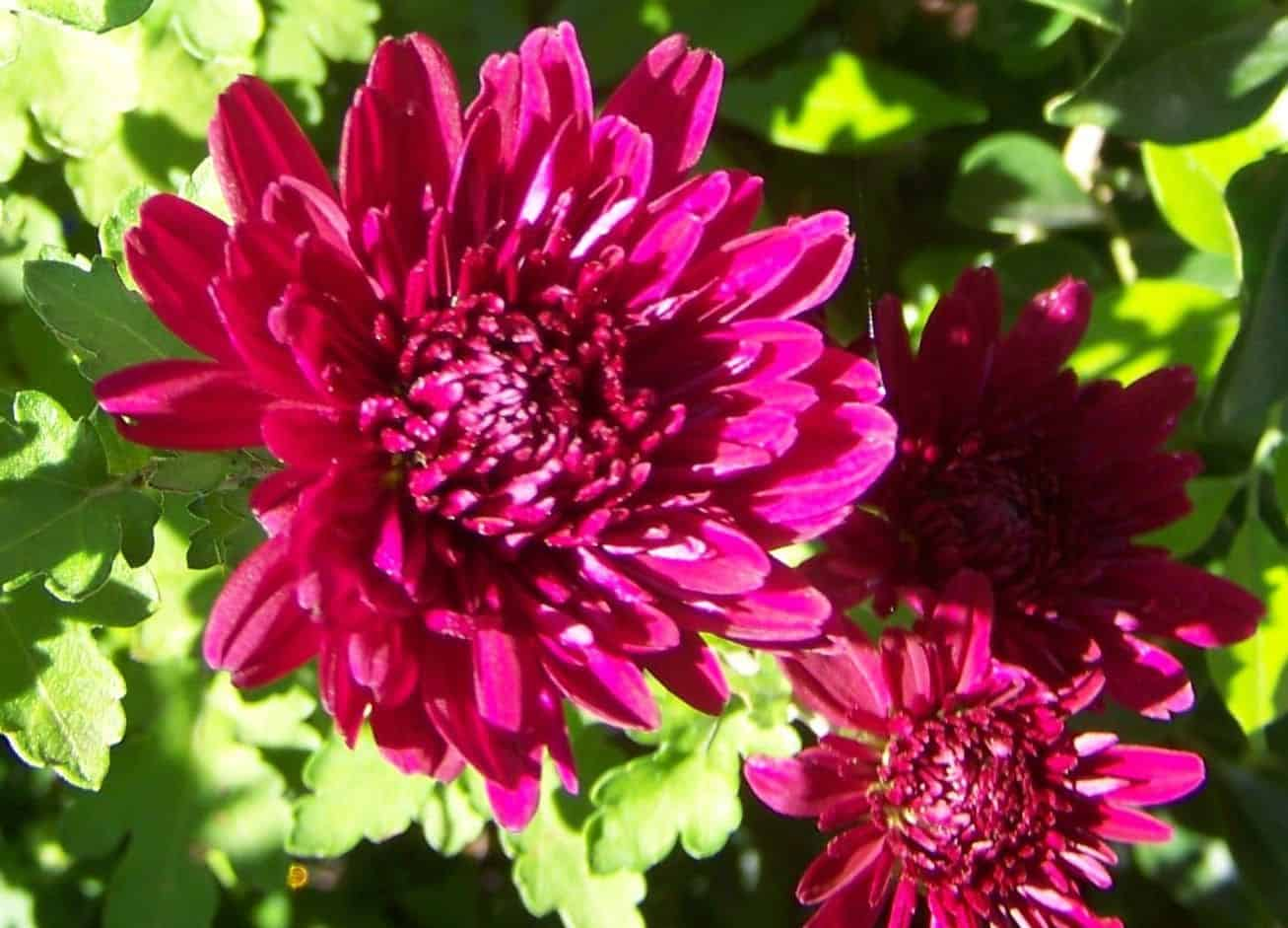 hoa dễ trồng nở quanh năm