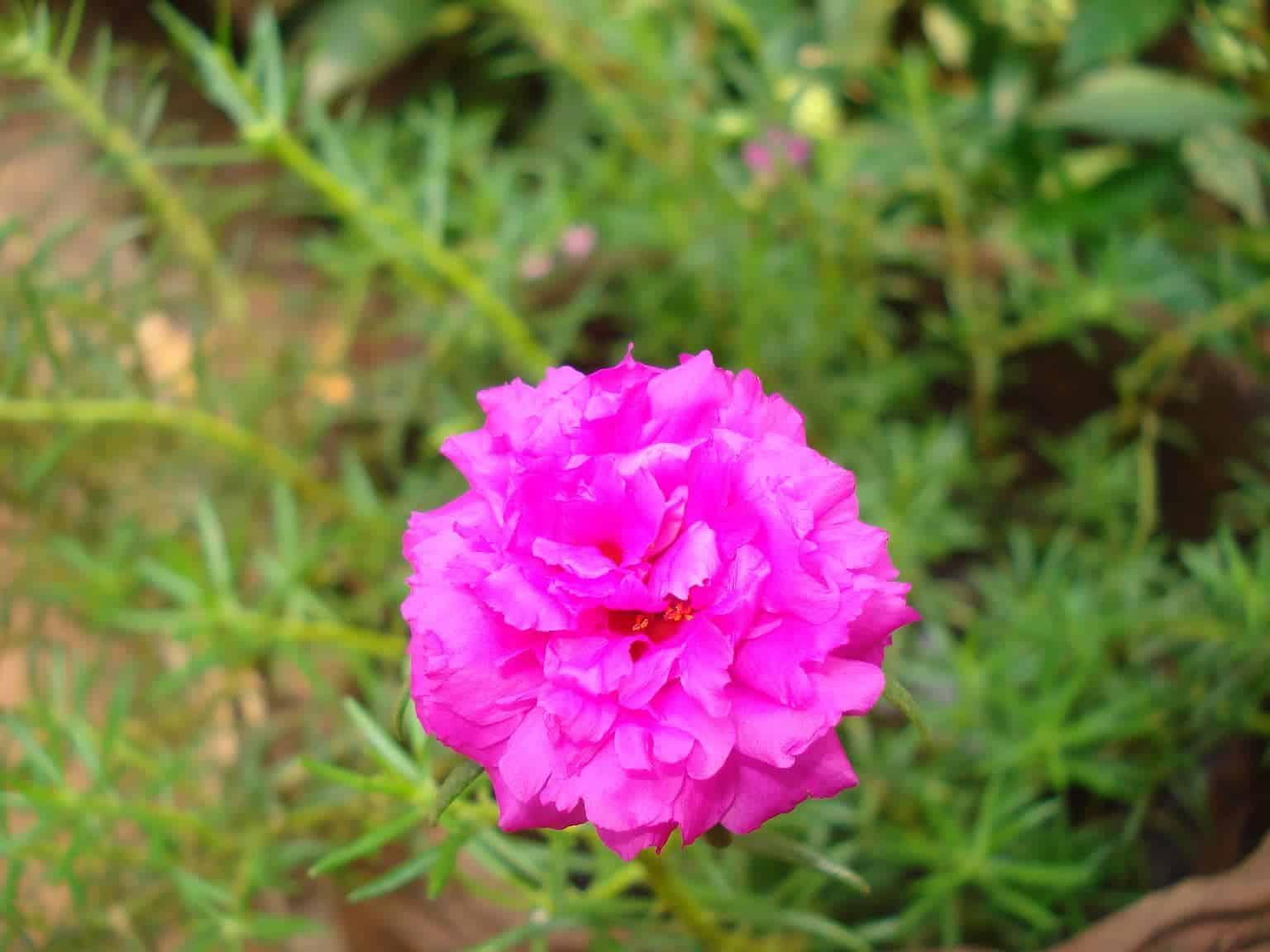 các loài hoa đẹp dễ trồng