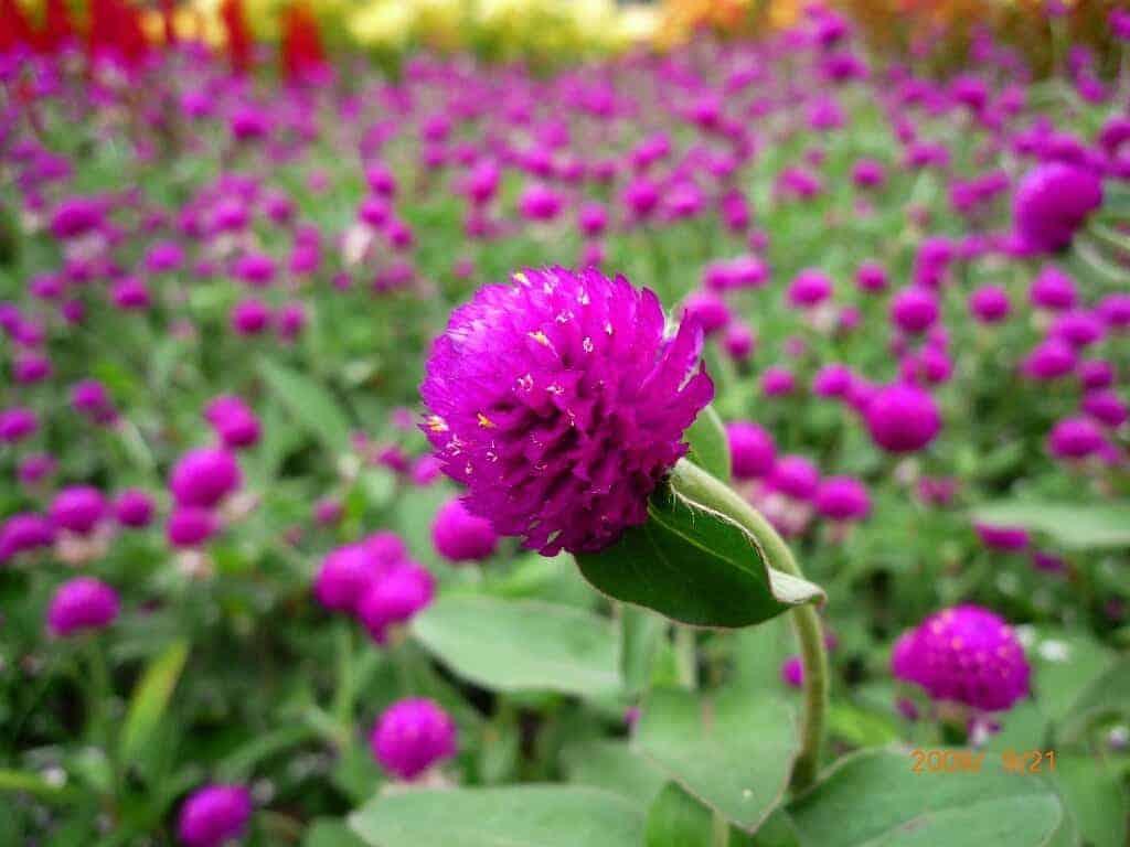 những loại hoa dễ trồng