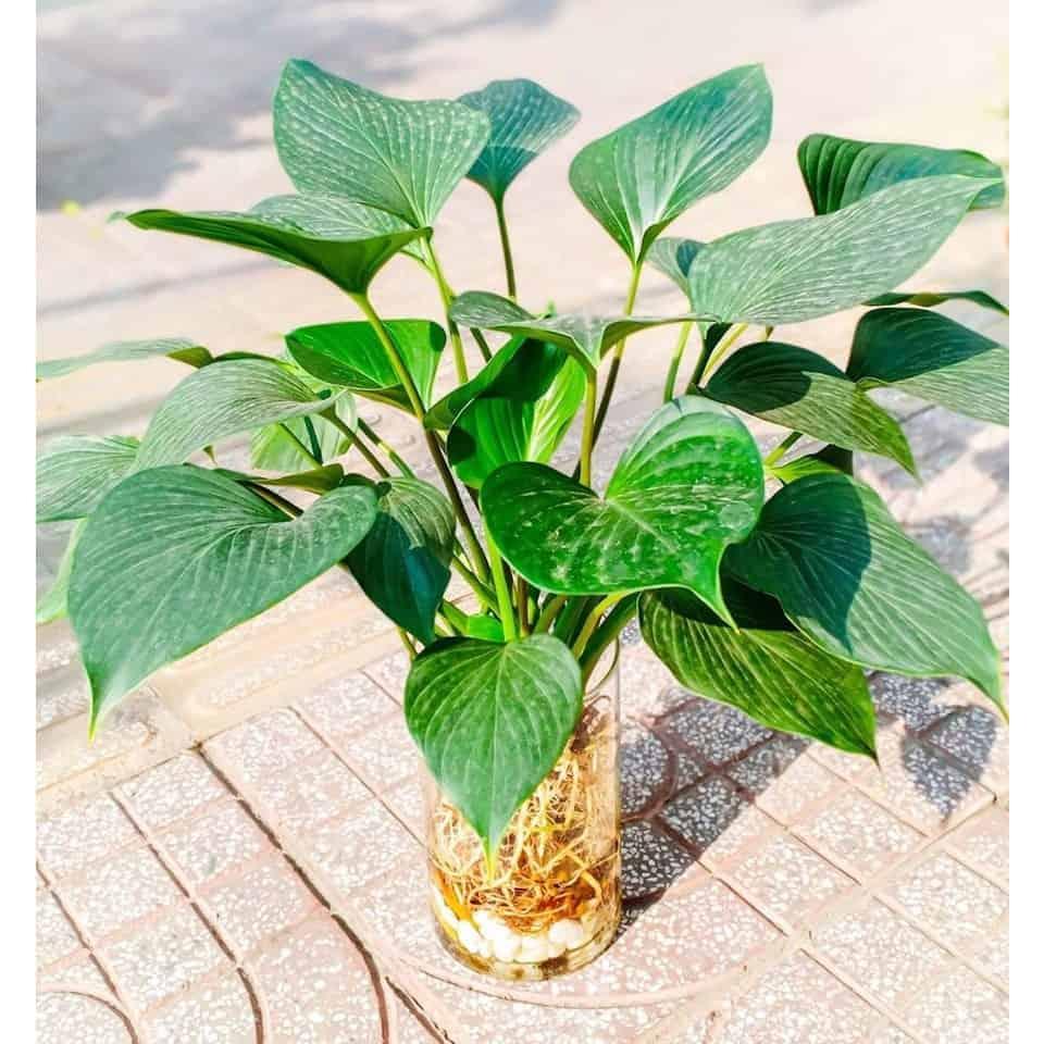 tuổi mậu thìn 1988 trồng cây gì trong nhà