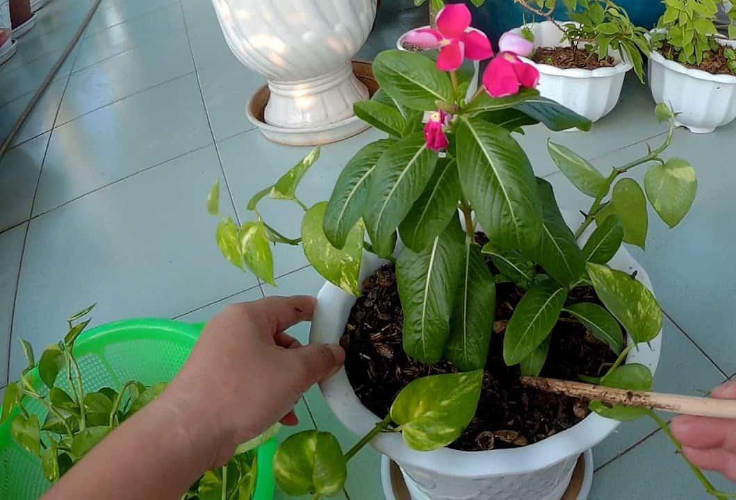 cách trồng cây dừa cạn bằng cành