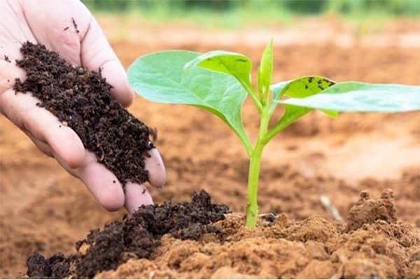 trồng dừa cạn bằng cành