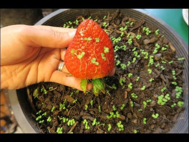 cách trồng dâu tây bằng hạt từ quả