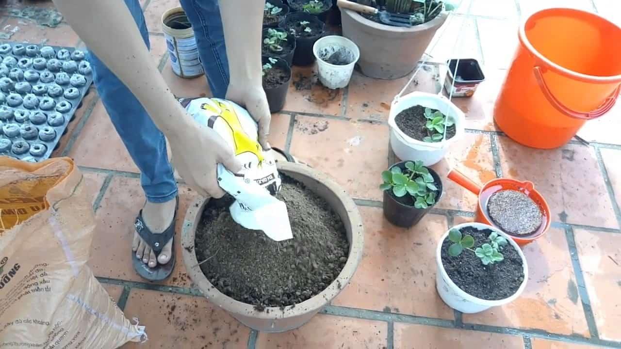 cách trồng cây dâu tây tại nhà