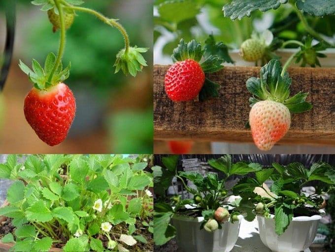 trồng cây dâu tây từ hạt