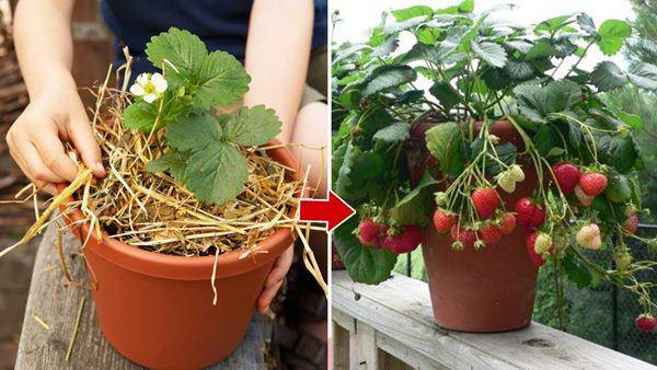 cách trồng cây dâu tây