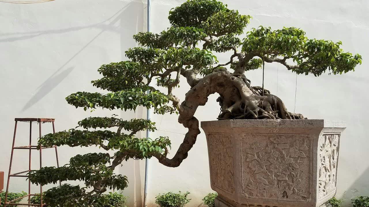 cách uốn cây Sanh dáng thác đổ