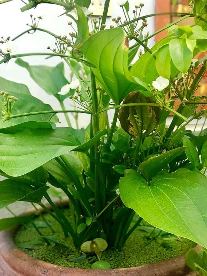 cây Bách Thủy Tiên trồng trong nước
