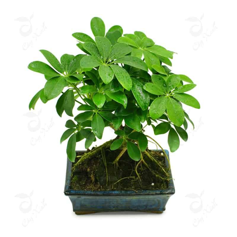 cây hút khí độc trong văn phòng