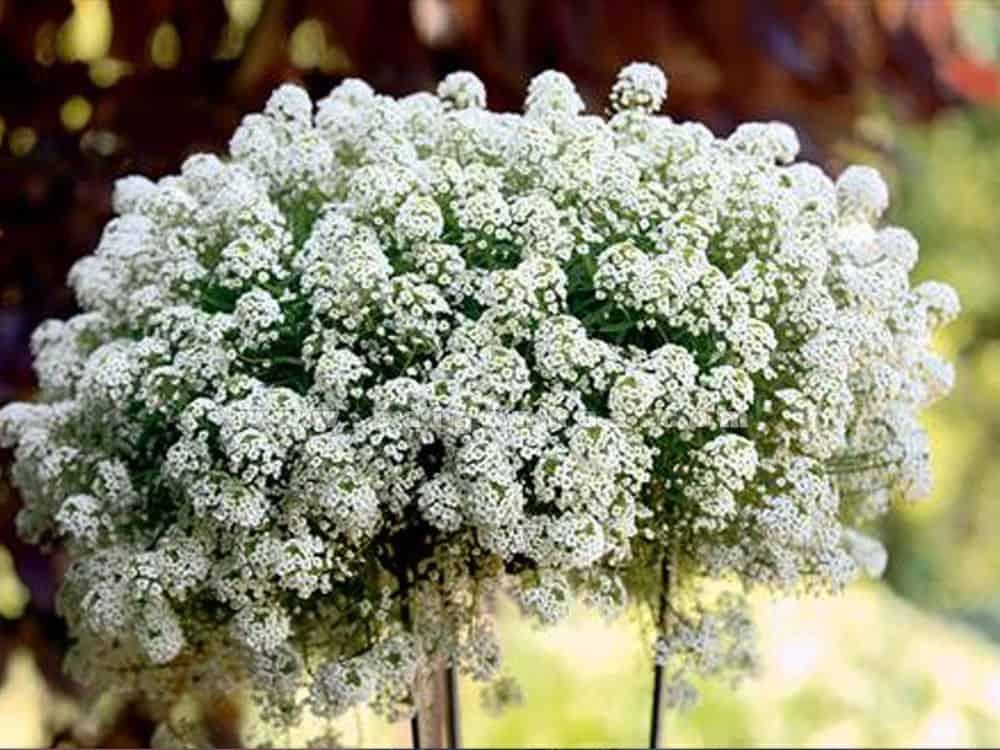 loại hoa trồng ban công đẹp