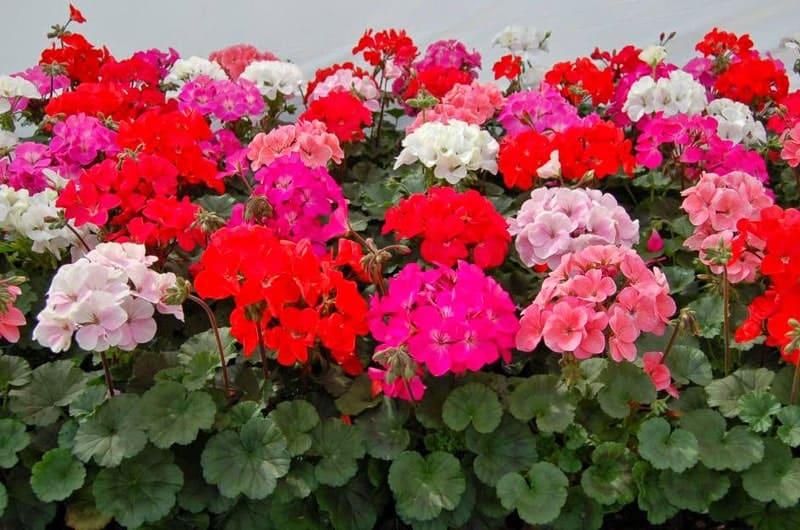 hoa trồng ở ban công