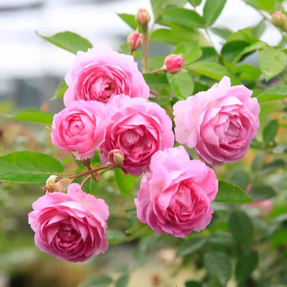 hoa trồng ban công