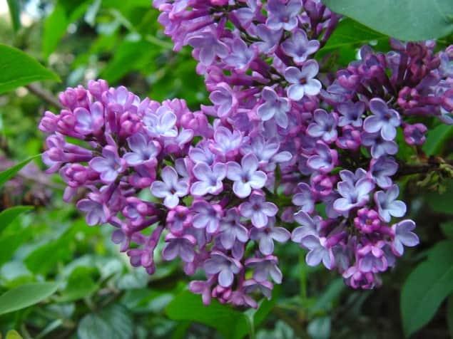 hoa trồng ban công có mùi thơm