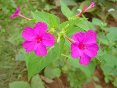 Hoa Bốn Giờ đẹp