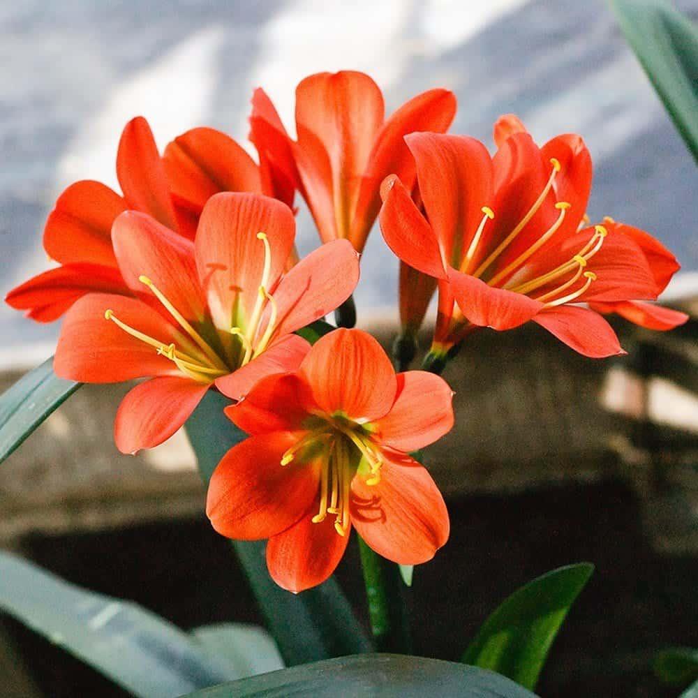 lan quân tử ra hoa vào mùa nào