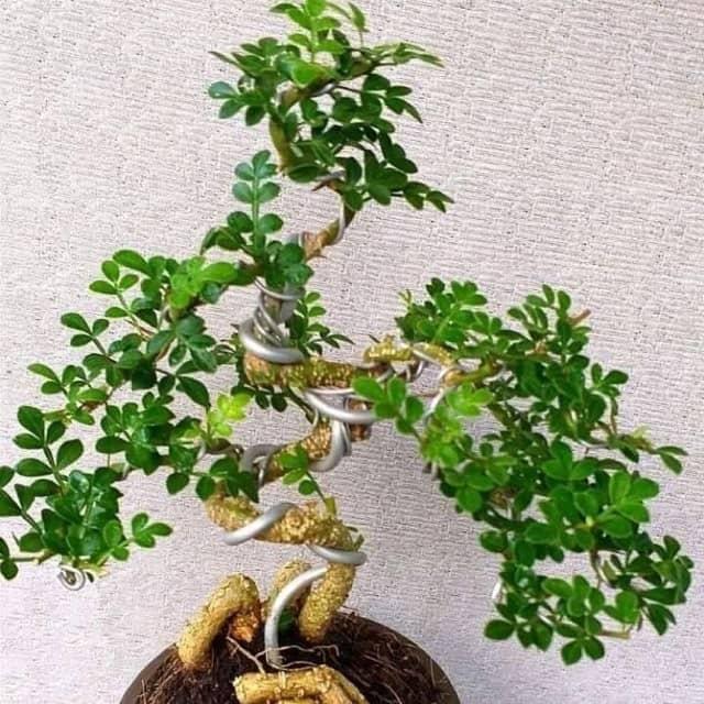 ý nghĩa cây Cần Thăng trong phong thủy