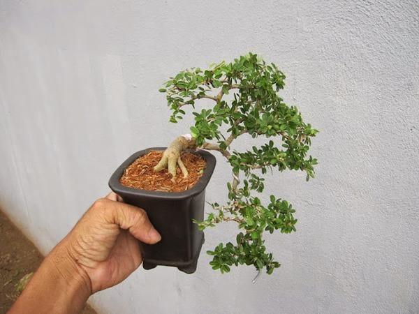 cây Cần Thăng phong thủy