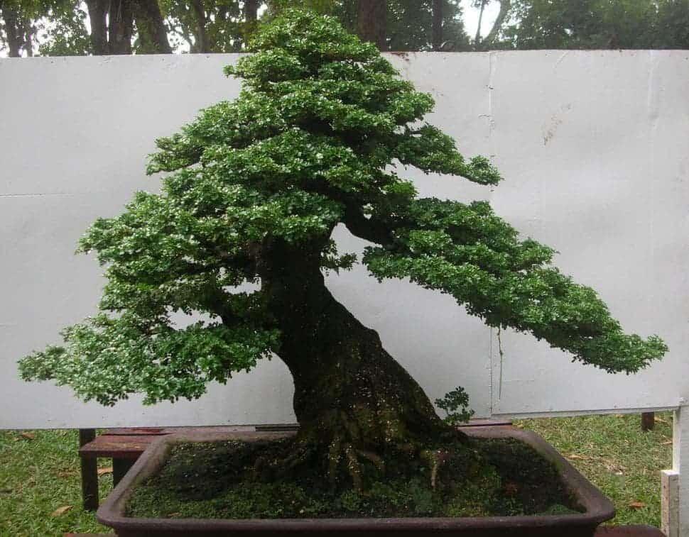 cách trồng cây cần thăng