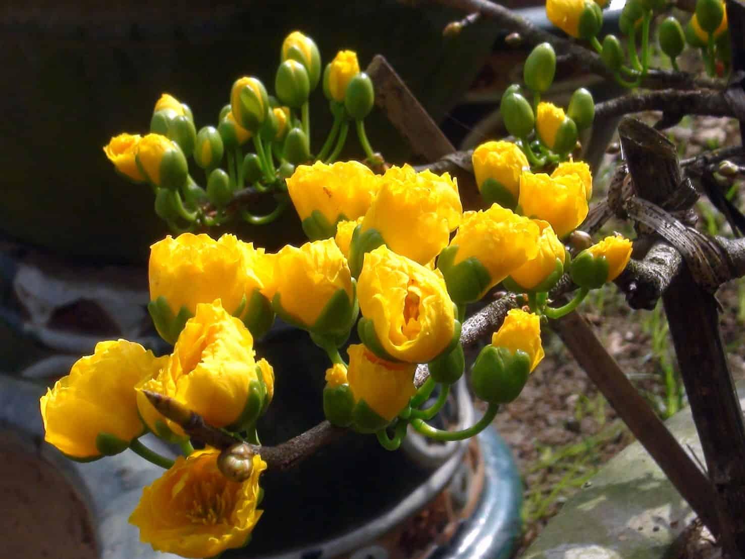 cách kích thích hoa mai ra nụ
