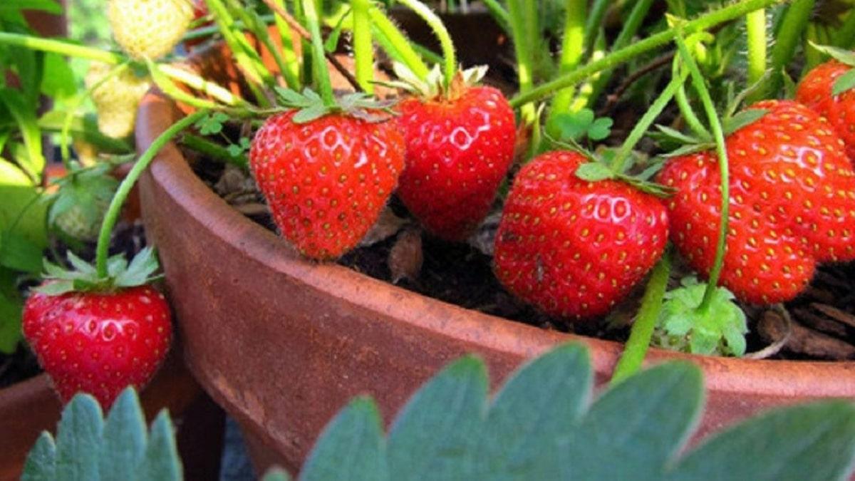 cách trồng cây dâu tây bằng hạt